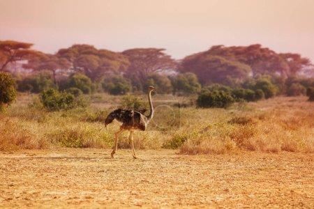 Big herd of ostrich