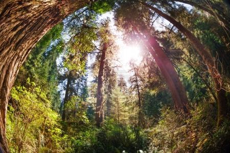 Photo pour Vue sur les séquoias du parc national Redwood, États-Unis - image libre de droit
