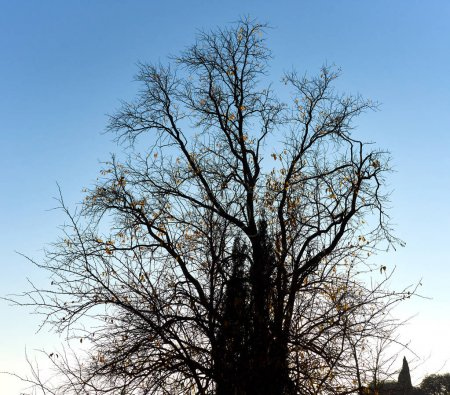 Photo for Bare tree against blue sky - Royalty Free Image