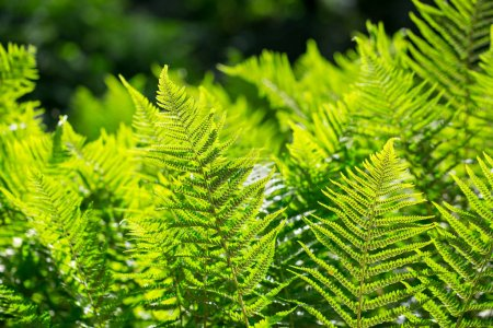 Photo pour Feuilles de fougères beautées, fond naturel de fougères florales au soleil . - image libre de droit