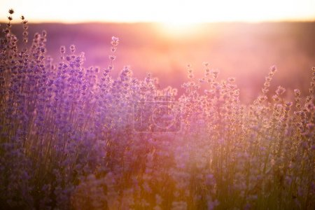 Foto de Puesta de sol sobre un campo de lavanda violeta de Provenza, Francia. - Imagen libre de derechos