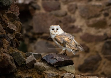 A beautiful barn owl, close-up.