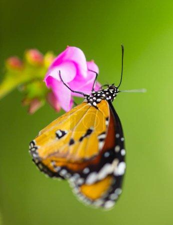 Plain Tiger Butterfly(Danaus chrysippus).