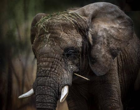 African Elephant portrait.