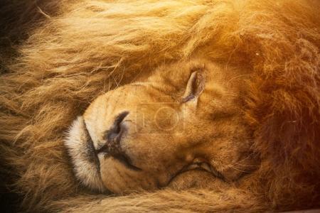Portrait of a male lion resting.