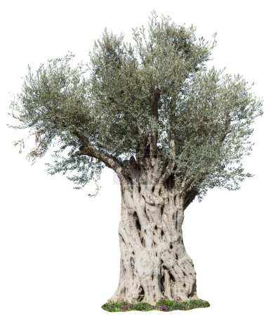 Old olive tree. File contains clipping paths.