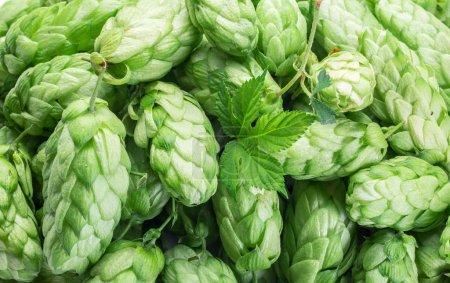 Green hop cones -  ingredient in the beer production.