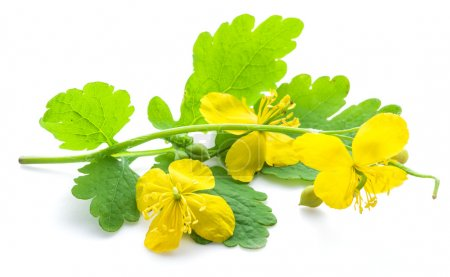 Greater celandine flower, swallowwort isolated on ...