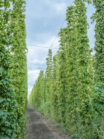 Hops yard. Hops plants climbing of special supported strings or
