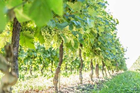 Vineyard at the sunny autumn day.