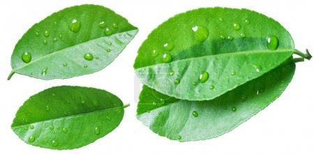 Citrus leaves with water drops on the white background.