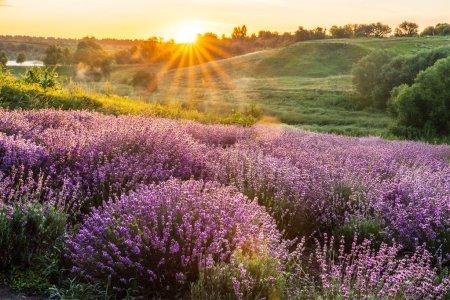 Photo pour Lavandula à fleurs colorées ou champ de lavande à l'aube. Une légère brume matinale à l'arrière-plan. - image libre de droit