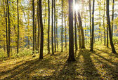 autumnal forest with sunbeams