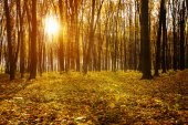Golden autumnal forest with sunbeams