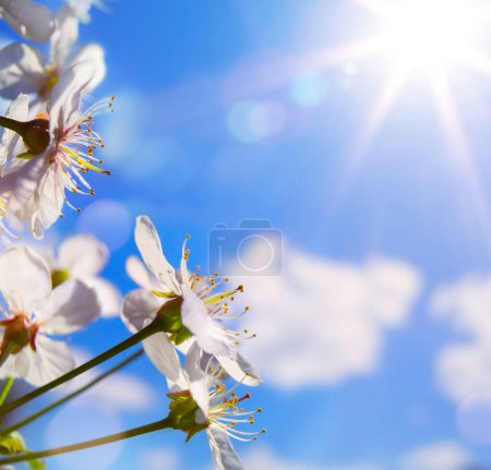 Foto de Abstract spring background with blooming cherry tree; spring flower on blue sky backgroun. - Imagen libre de derechos