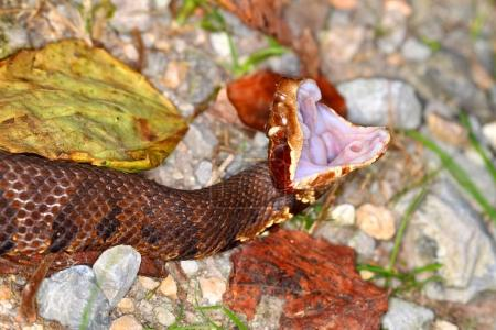 Cottonmouth Snake Southern Illinois