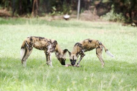 African wild dogs from Taronga Zoo