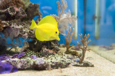 View at beautiful zebrasoma salt water aquarium fi...