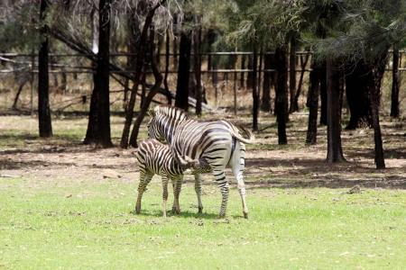 Plains zebras in Taronga Zoo