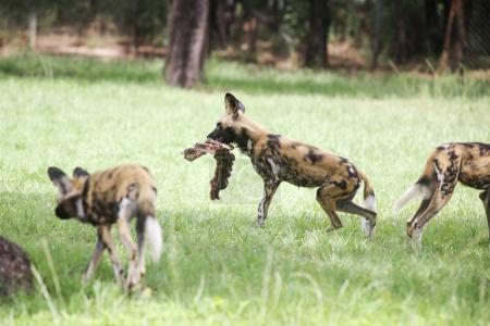 African wild dogs in Taronga Zoo