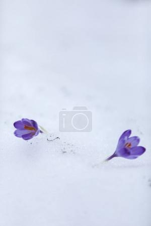 Crocus flowers in snow on the first days of spring