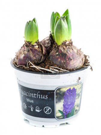 germ of hyacinth in a pot isolated on white background