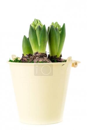 close-up of sprout purple hyacinth in a pot isolated on white ba