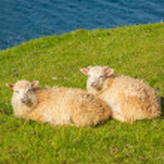 Wildlife in the Faroe Islands. Sheep on Vagar isla...