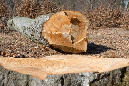 cut beech tree trunk with stump in forest