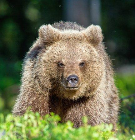 Cub of Wild Brown bear