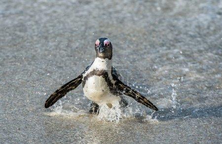 African penguin walk out of ocean