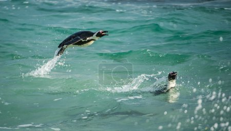 Jumping out of water African Penguins