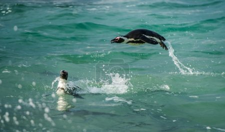 Penguins Swimming and Jumping out of water