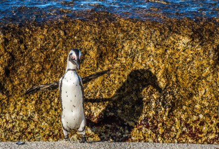 African penguin jumping from rock