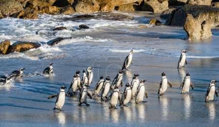 African penguins walk out of ocean