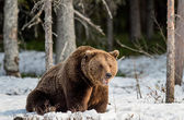 Brown Bear on snow-covered swamp
