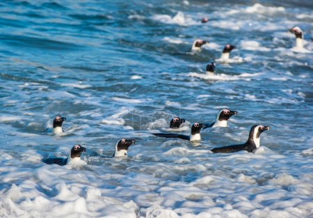 African penguins walking out of ocean