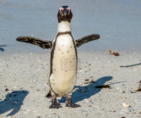 African penguin on sandy beach