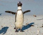 Tučňák brýlový na písečné pláži