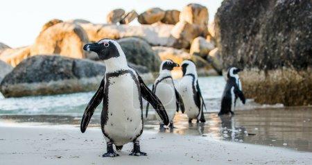 African penguins on the sandy beach