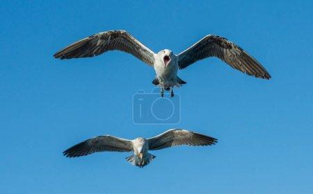 Flying  shouting Kelp gulls
