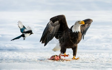 The Magpies and Bald eagle