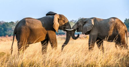 Fighting African elephants