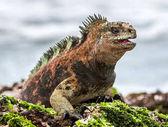 male of Galapagos Marine Iguana on lava rock