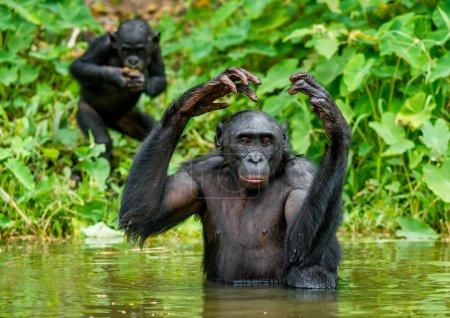 Black bonobos in water