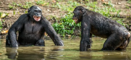 Smiling Bonobos in the water