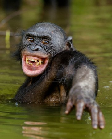 Smiling Bonobo in water