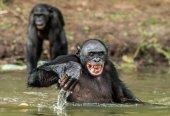 """Постер, картина, фотообои """"Улыбаясь бонобо в воде"""""""