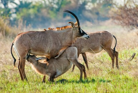 Marriage games of Roan antelope