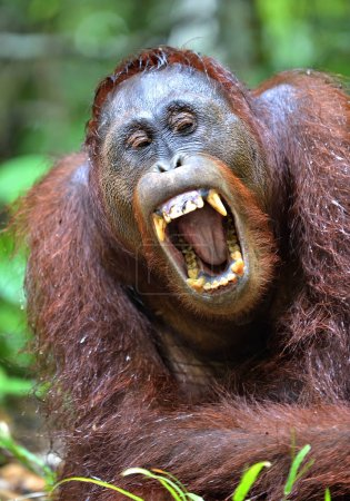 Orangutan with open mouth